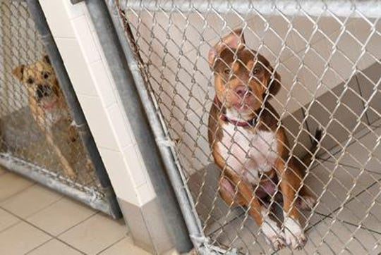 Staff from The SPCA of Brevard picked up 11 dogs from shelters in South Carolina to help with the likely overflow due to Hurricane Florence earlier this year.  TIM SHORTT/ FLORIDA TODAY
