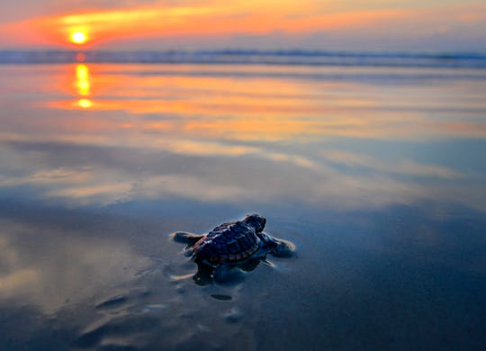 A loggerhead hatchling makes its way to the ocean at dawn in Cocoa Beach.