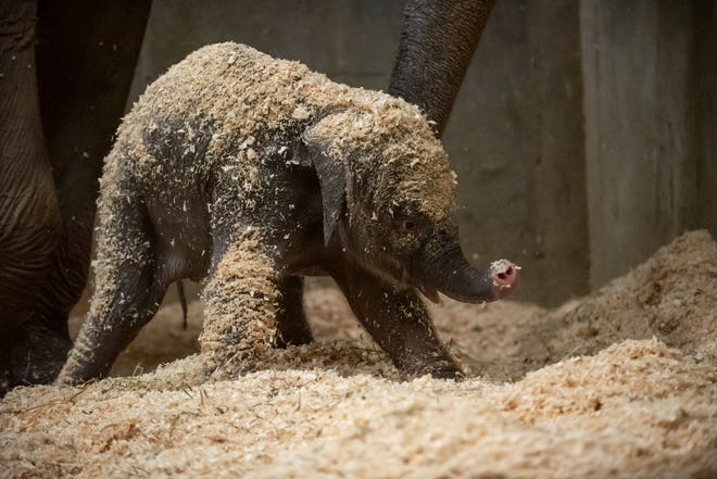 This undated file photo provided by Columbus Zoo and Aquarium shows an Asian baby elephant, born Thursday, Dec. 6, 2018, in Powell, Ohio.