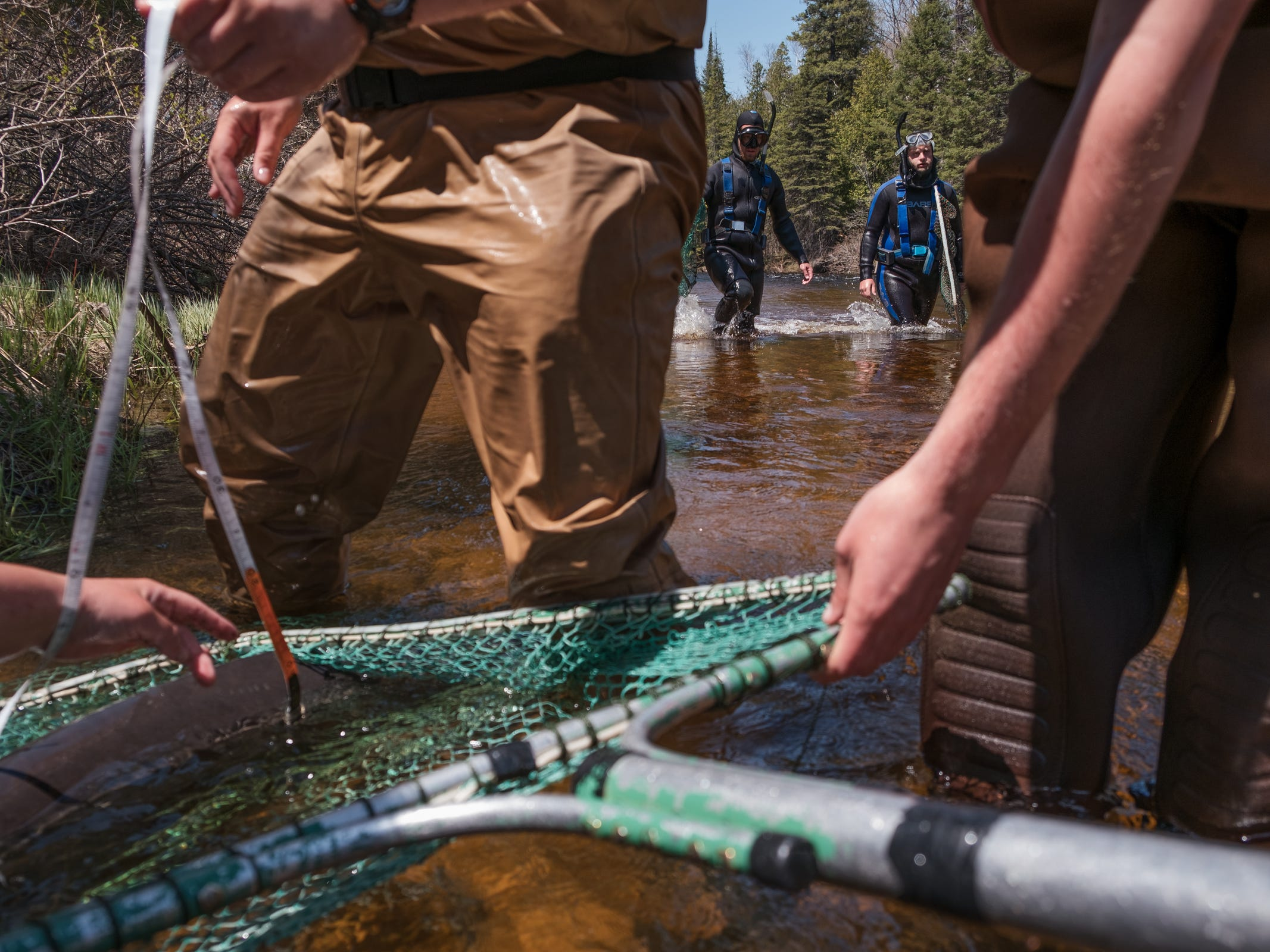 Researchers from Michigan State University work to gather samples and collect data from sturgeon mating in the Black River in Onaway on Wednesday, May 16, 2018. The group is conducting studies to help lead to restocking local habitats with sturgeon.