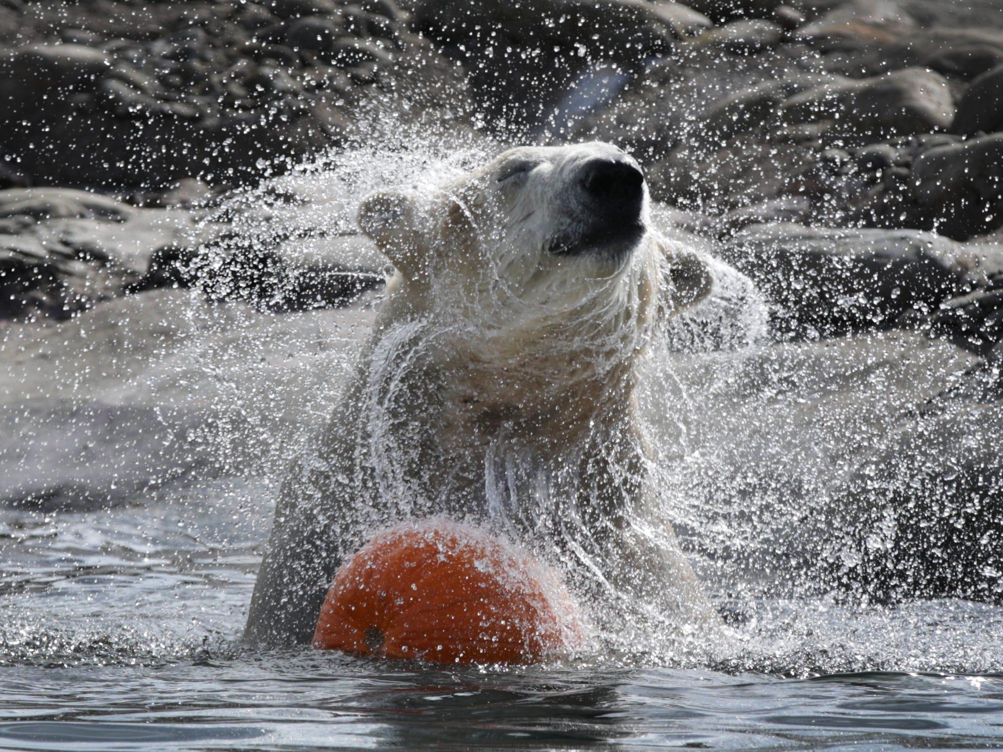 A polar bear eats a pumpkins at the Detroit Zoo in Royal Oak on Wednesday, October 10, 2018.