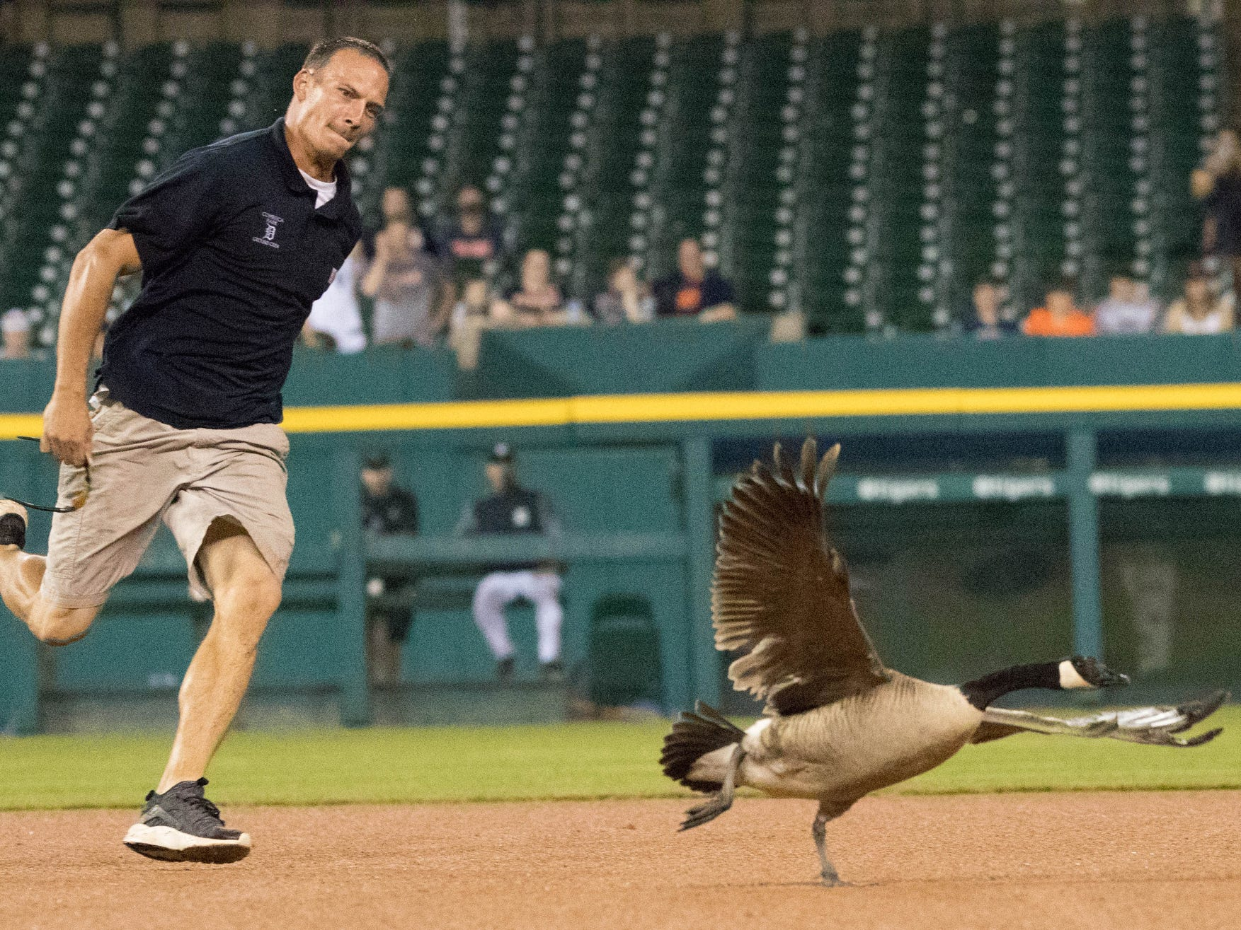A Canadian Goose lnaded on the field during the rain delay of Detroit Tigers vs. Los Angeles Angels game grounds crew chased the goose off the field while trying to fly out of the stadium it hit a scoreboard and fell into the crowd where a fan assisted Wednesday, May 30, 2018, Comerica Park in Detroit, Mich.