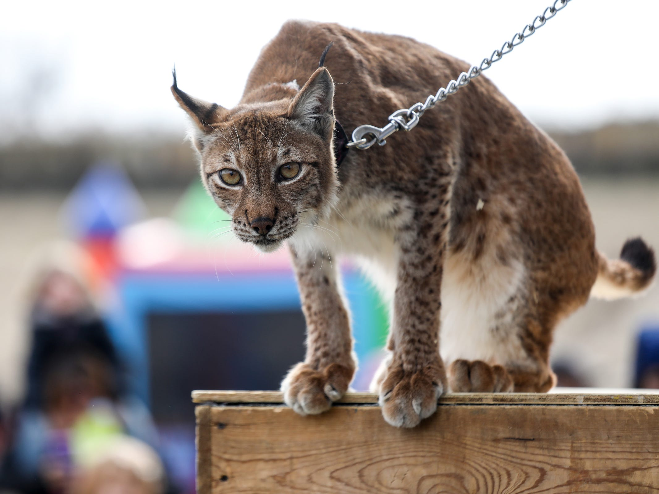 Elsa, a Siberian Lynx, is brought out for display with Nelson's Wildlife Safari, during the Detroit Parks and Recreation Annual Easter Fun Fest at Historic Fort Wayne in Detroit on Saturday, March 31, 2018.