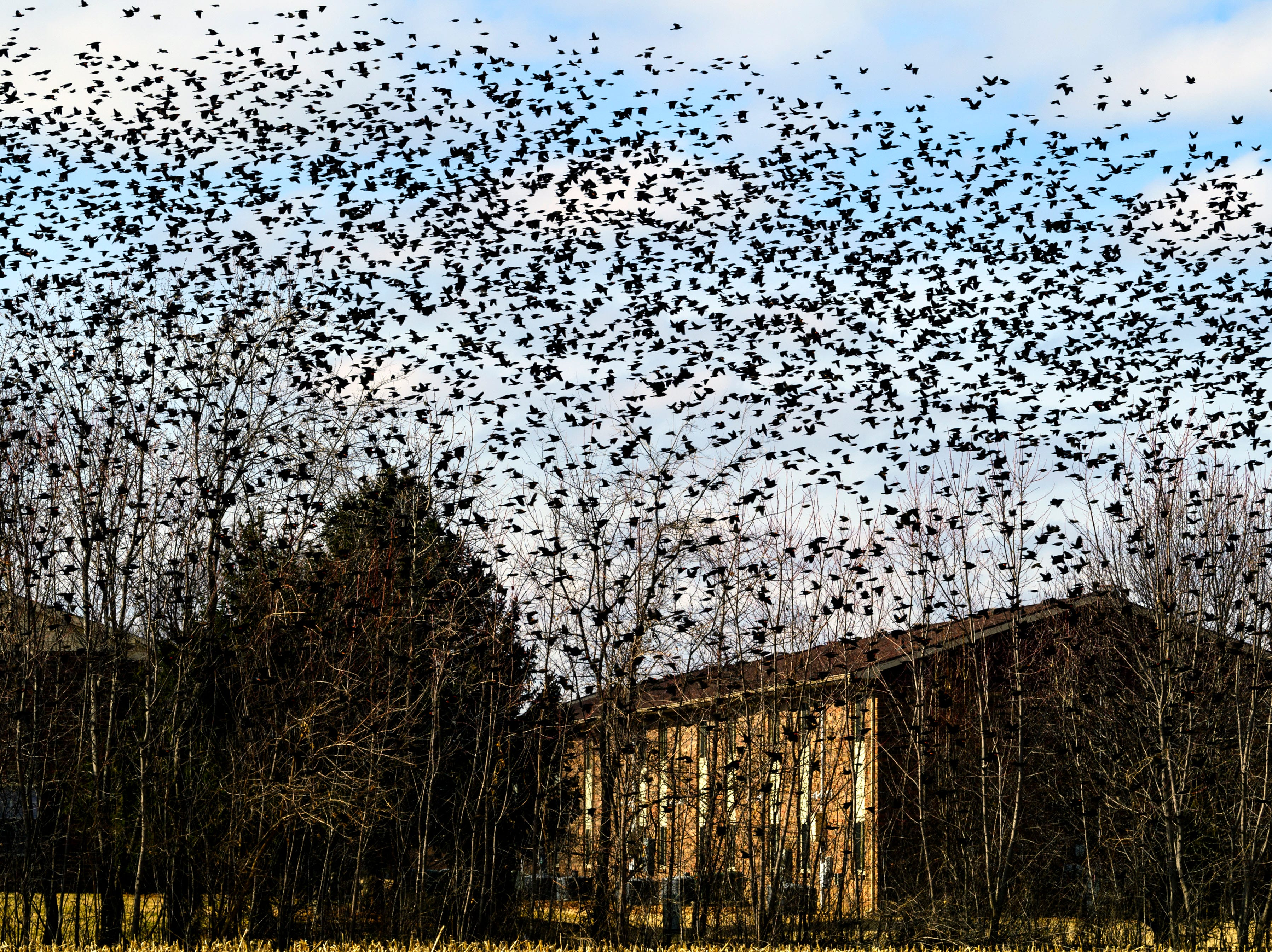 A large flock of birds fly around a field on North Royal Avenue in Evansville, Ind., Monday afternoon, Feb. 5, 2018.