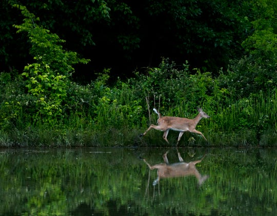 A white-tailed deer wades along the fringe of the water's edge in a Friedman Park pond on a June evening.