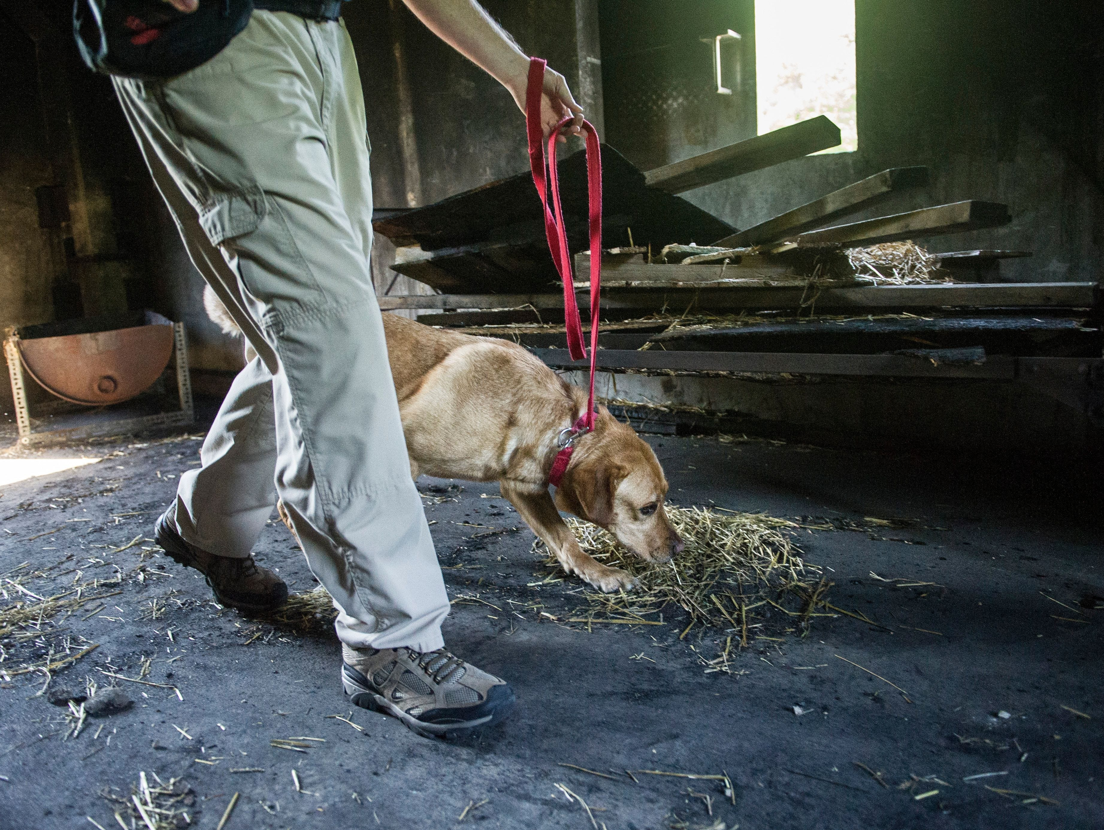 Danny Hill from New Bern, N.C. walks his partner Darby, an English Labrador retriever, through an arson investigation scenario during the Arson Dog recertification program hosted by the Evansville Fire Department on Wednesday, June 6.