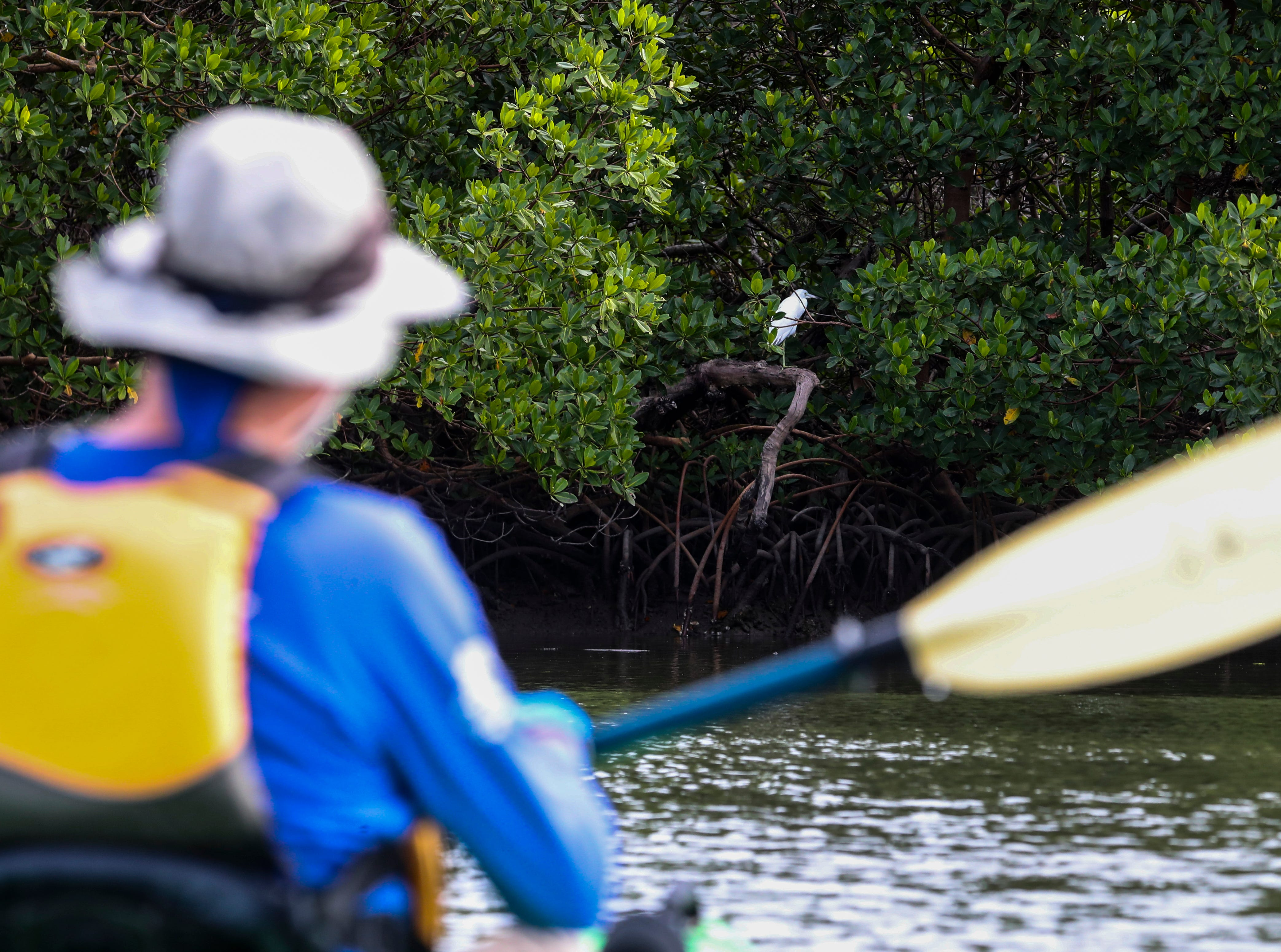 All kinds of wildlife can be seen out on the water. Rookery Bay National Estuarine Research Reserve in Naples offers a two-hour guided kayak tour of Rookery Bay. This tour provides an up-close and personal experience of this irreplaceable national treasure. Paddle through the shallows and maze like mangrove tunnels while learning about  surroundings from an experienced guide and naturalist. Randy McCormick, captain and guide, has worked at the Reserve for many years and knows the area intimately. He is a Certified Interpretive Guide, an instructor in the Florida Master Naturalist program and a fifth generation Floridian.