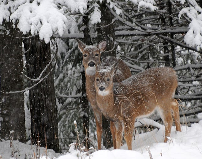 A doe and its fawn sneak along a forest edge during a snowstorm in northern Wisconsin.