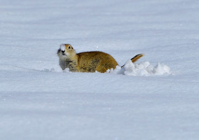 A ground squirrel clears snow from around its burrow after a storm earlier this season dropped 4-6 inches of snow in Great Falls.