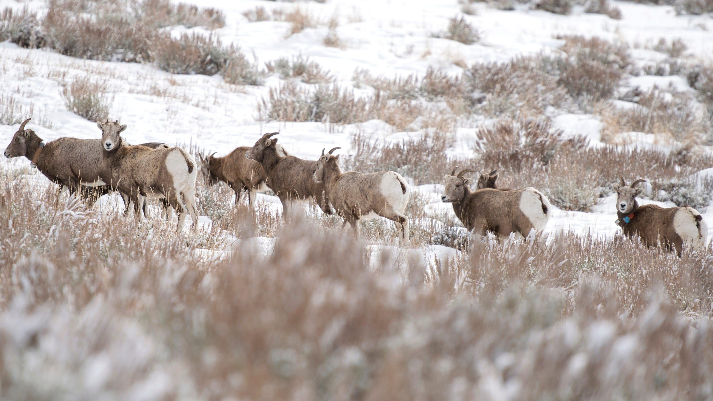 bighorn sheep herds inter mingling in southwestern montana