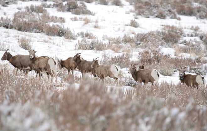 In this Wednesday, Dec. 12, 2018 photo part of the Quake Lake herd of bighorn sheep graze on a hillside in Montana. Surprises like one sheep crossing a mountain range and making new friends are welcomed by conservation advocates and wildlife managers alike, as recovering the species has proven challenging both biologically and politically.