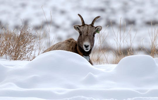 In this Wednesday, Dec. 12, 2018 photo a bighorn ewe from the Quake Lake herd looks up from grazing south of Cameron, Mont. Surprises like one sheep crossing a mountain range and making new friends are welcomed by conservation advocates and wildlife managers alike, as recovering the species has proven challenging both biologically and politically.