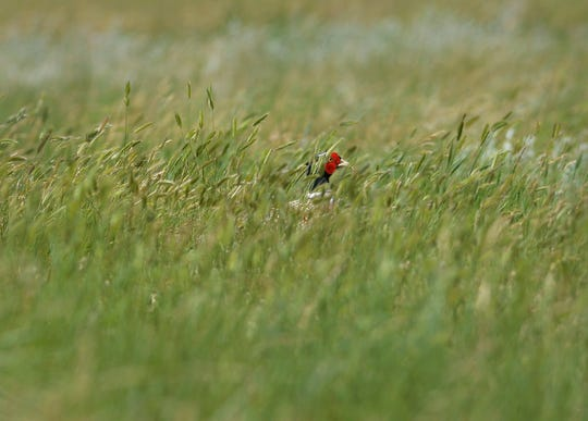 A pheasant hides in the tall grass at Benton Lake Wildlife Refuge, Thursday.