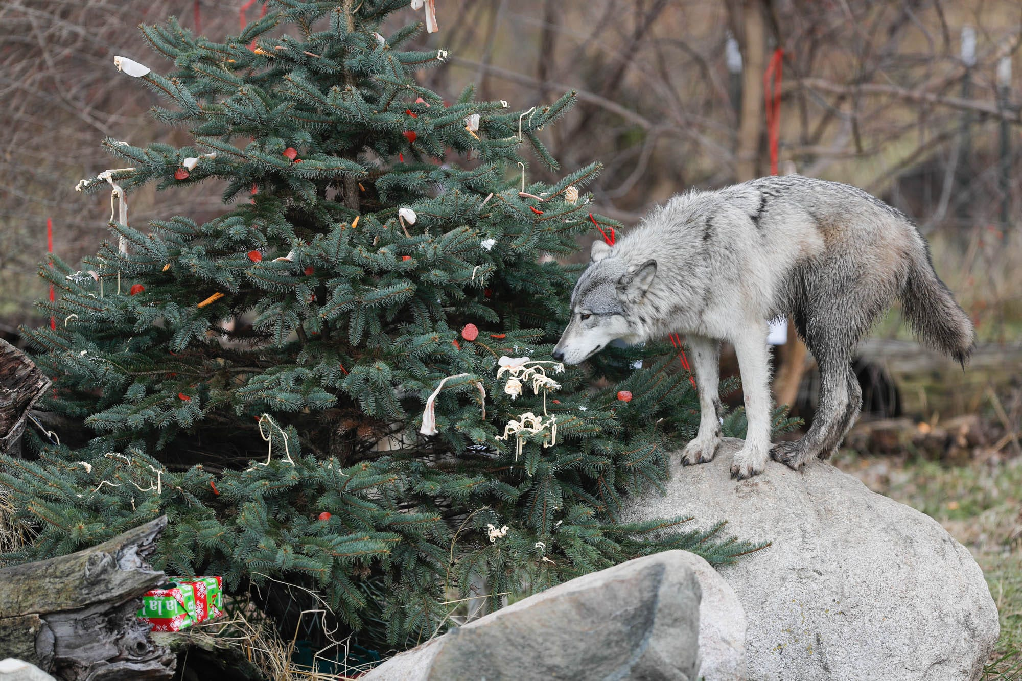 Christmas Wolf.Wolves Open Their Presents At Wolf Park