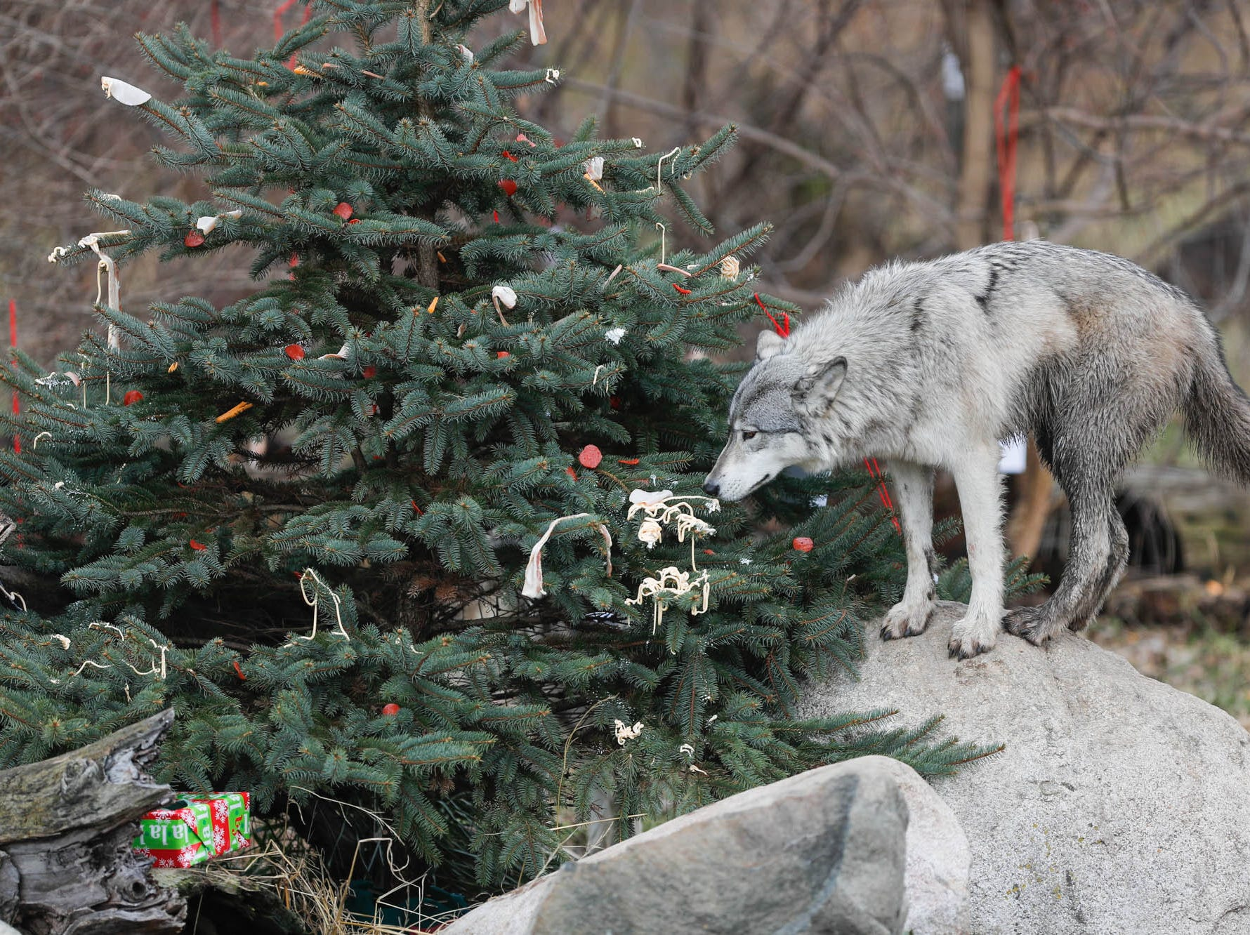 A wolf snacks on Easy Cheese used to decorate a Christmas tree during Santa's visit to Wolf Park in Battle Ground Indiana on Saturday, Dec. 15, 2018. Guest's were invited to enter the wolf enclosure before the wolves were released to leave delicious gifts filled with treats and decorate a Christmas tree with snacks.