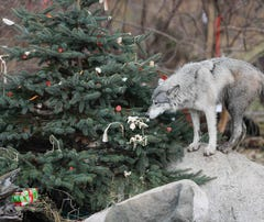 Wolves open their presents at Wolf Park