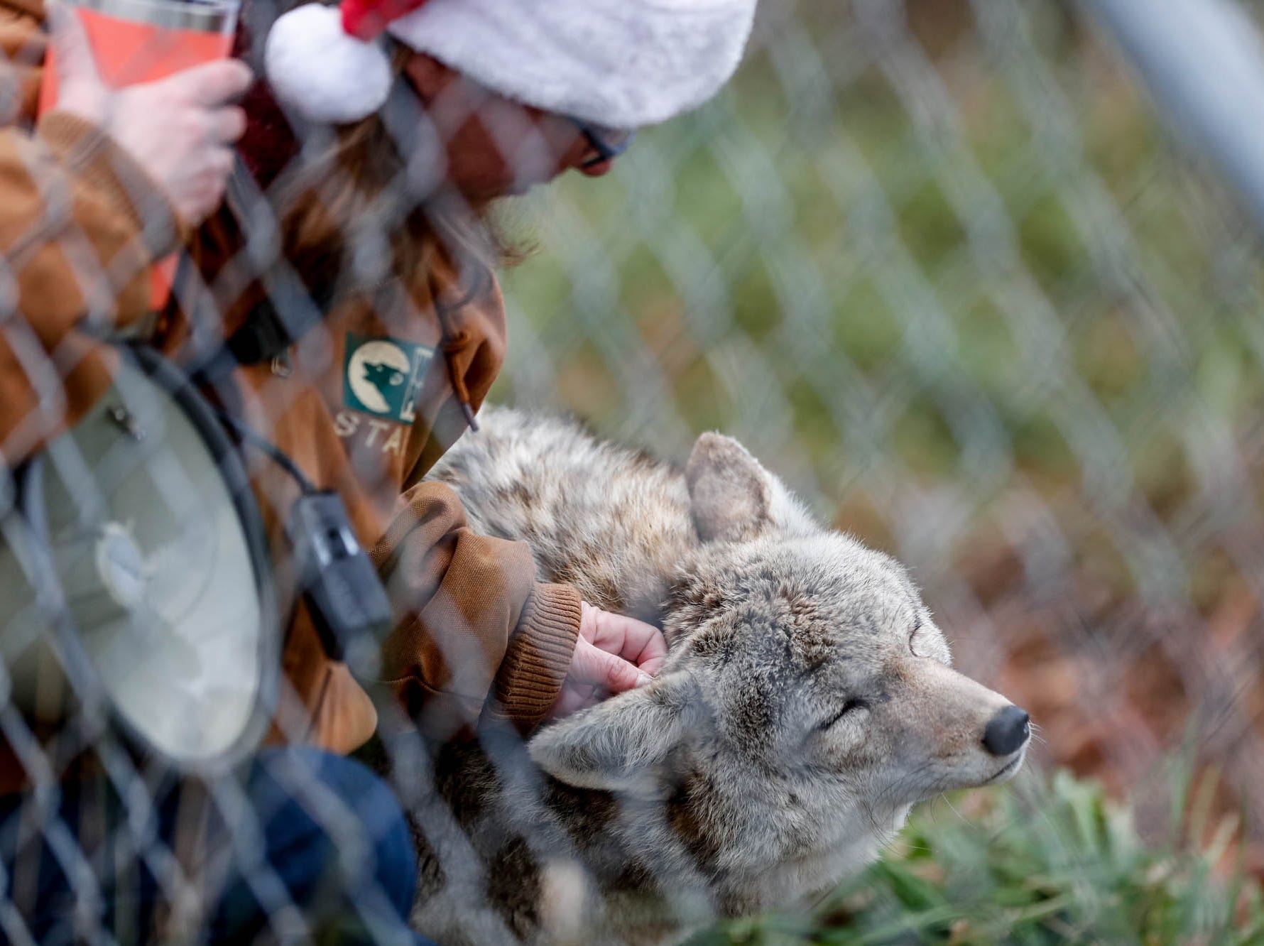 Wolf Park Managing Director, Dana Drenzek scratches behind the ear of Willow, the parks coyote, during Santa's visit to Wolf Park in Battle Ground Indiana on Saturday, Dec. 15, 2018.