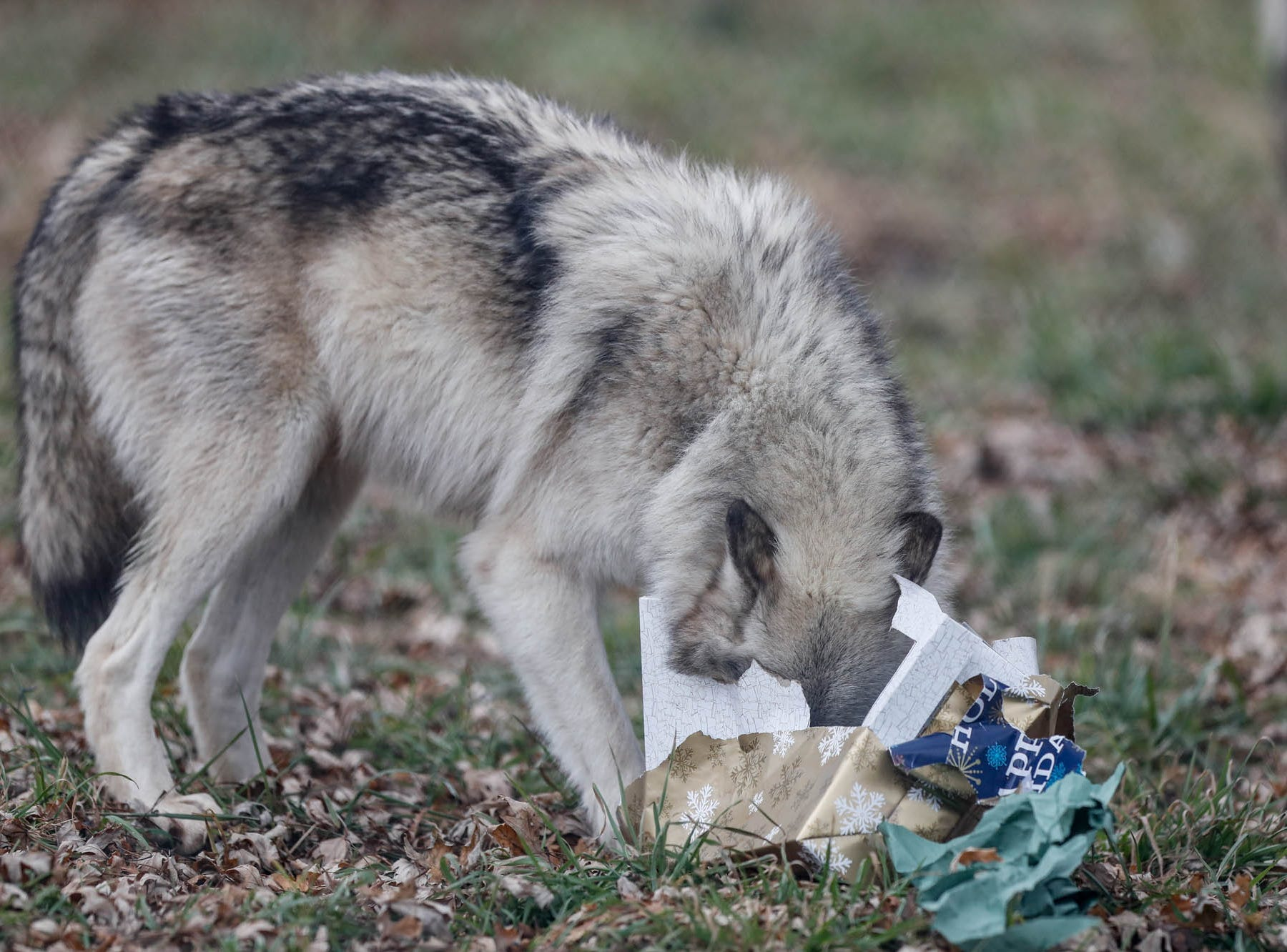 A wolf opens a Christmas present filled with tasty Christmas treats which decorated the enclosure at Wolf Park during Santa's annual visit in Battle Ground Indiana on Saturday, Dec. 15, 2018. Guest's were invited to enter the wolf enclosure before the wolves were released to leave delicious gifts filled with treats and decorate a Christmas tree with snacks.