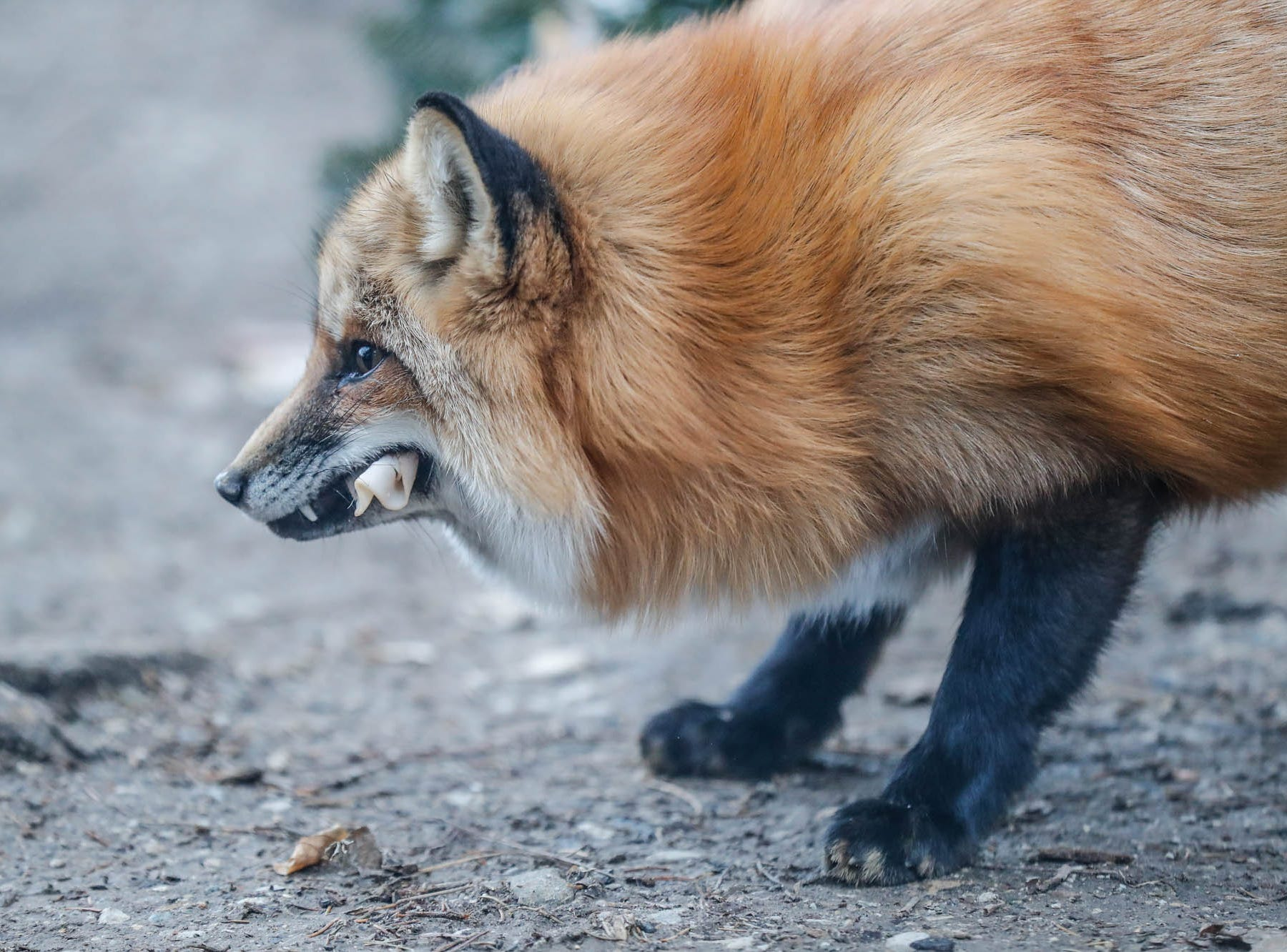 Scarlette, a red fox, enjoys tasty treats for Christmas which decorated the fox enclosure at Wolf Park during Santa's annual visit in Battle Ground Indiana on Saturday, Dec. 15, 2018.
