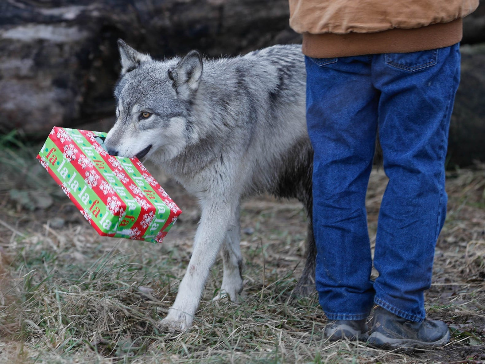 A wolf picks up a present filled with treats during Santa's visit to Wolf Park in Battle Ground Indiana on Saturday, Dec. 15, 2018. Guest's were invited to enter the wolf enclosure before the wolves were released to leave delicious gifts filled with treats and decorate a Christmas tree with snacks.