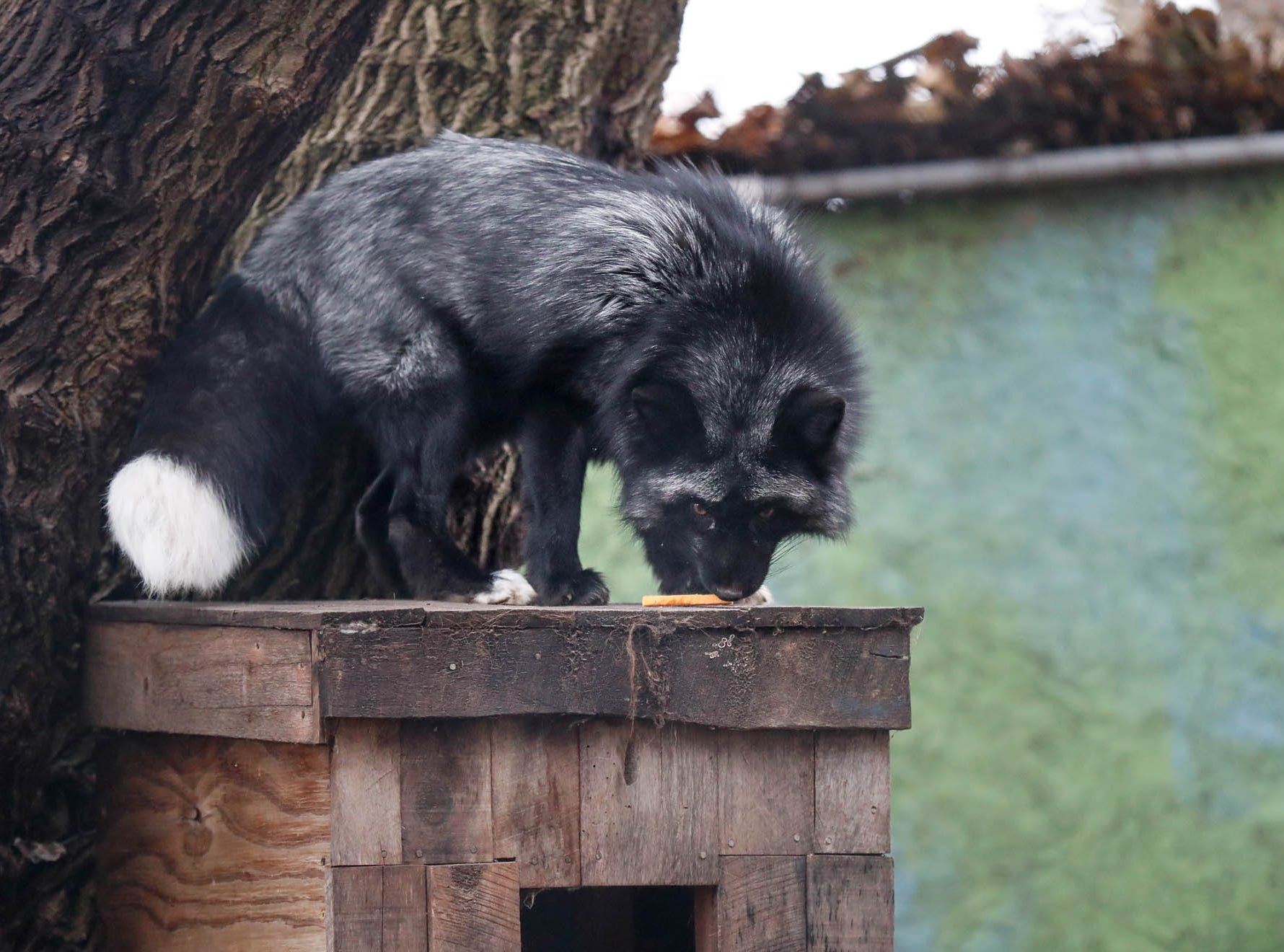 Joker, a red fox, enjoys tasty Christmas treats which decorated the fox enclosure at Wolf Park during Santa's annual visit in Battle Ground Indiana on Saturday, Dec. 15, 2018.