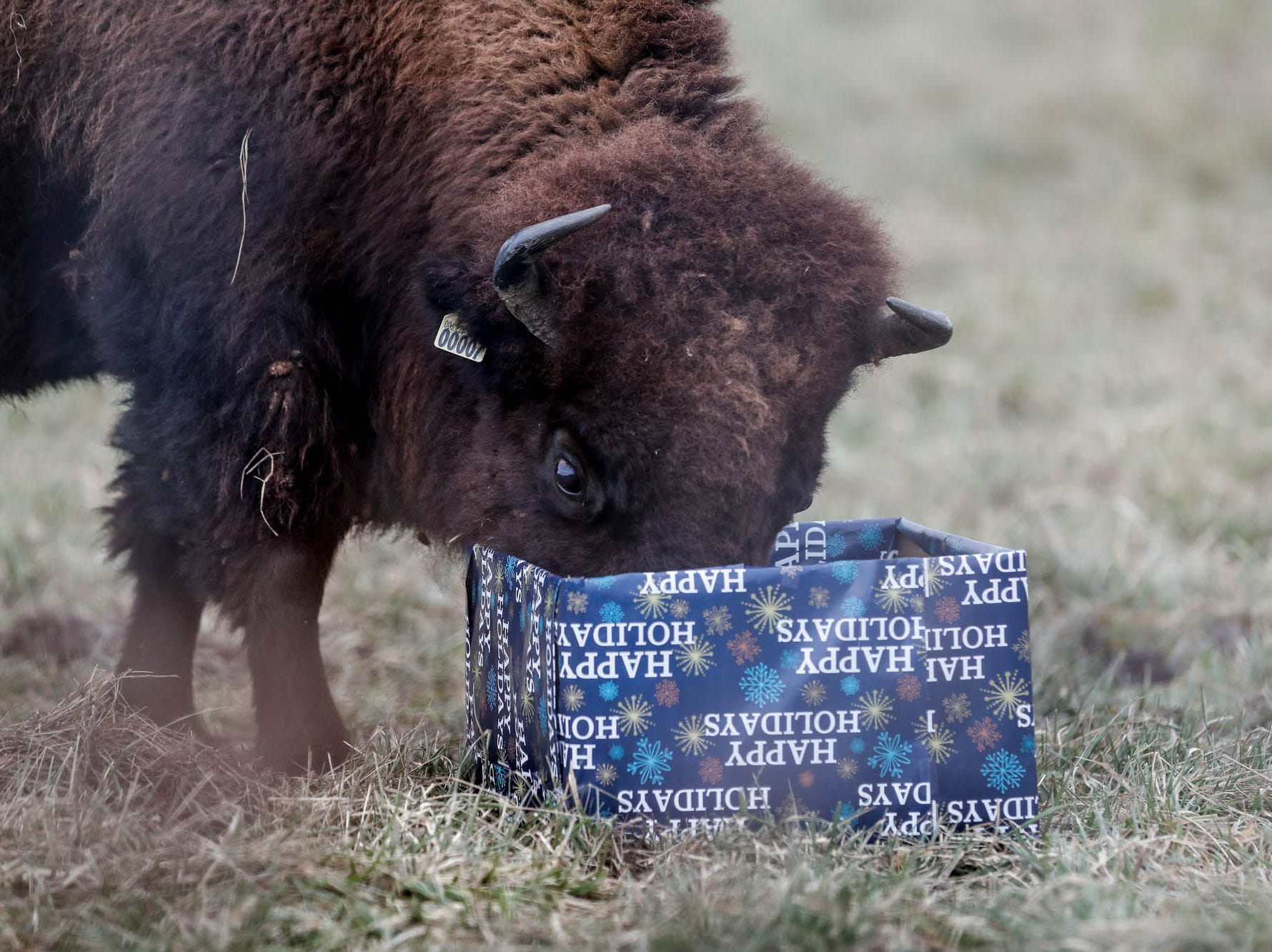 A bison opens a present filled with Christmas treats during Santa's visit to Wolf Park in Battle Ground Indiana on Saturday, Dec. 15, 2018.