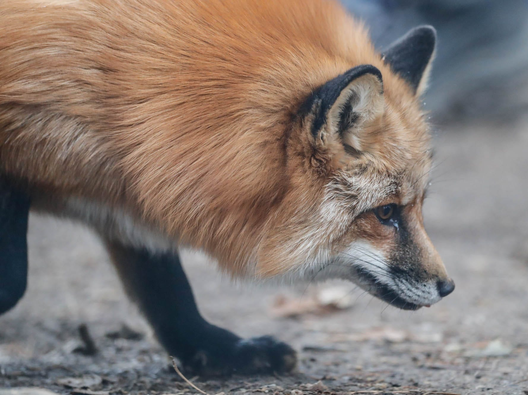 Scarlette, a red fox, hunts for tasty Christmas treats which decorated the fox enclosure at Wolf Park during Santa's annual visit in Battle Ground Indiana on Saturday, Dec. 15, 2018.