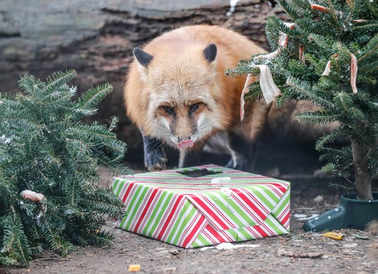 Santa Makes His Annual Visit To Wolf Park