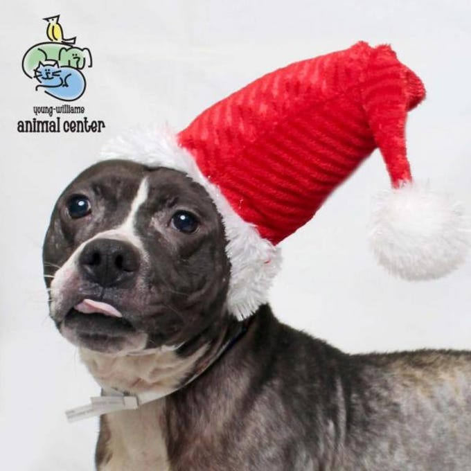 Rolo is a cheerful, hilarious 3-year-old adult male doggie who was found and brought to us by a good Samaritan. He's ready to go home today and just needs some TLC and good bath! He needs to work on manners and would need someone to be willing to teach him some tricks.