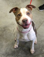 Mishoa is a spayed female, 2-year-old, Pit Bull mix.