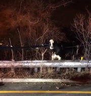 A cow got loose from a cattle truck and was found running across Route 80 in Paterson.