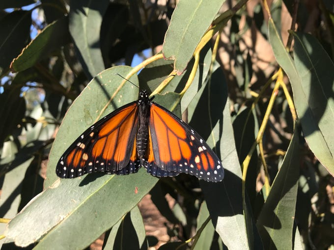 A monarch butterfly perches on a eucalyptus tree leaf at the historic cemetery along Pleasant Valley Road in Oxnard.
