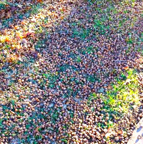Take care when raking acorns out of grass