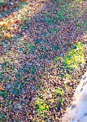 Acorns are falling from your trees this time of year. If they're piling up in your flower beds, now is the time to clean up and prepare for next year's plantings.