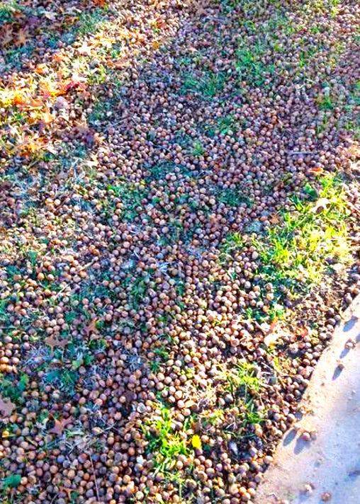12 31 18 Scads Of Shumard Red Oak Acorns