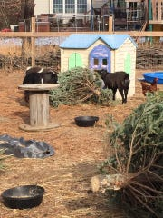 Why recycle your Christmas tree when it could feed goats? The owner of BnT Farm in Marlton collects donations of trees for her Boer and fainting goats.