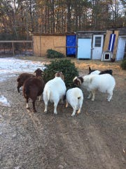 Trees are a treat for goats at BnT Farm in Marlton.