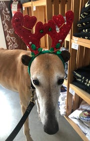 Ronan wears antlers during a recent Greyhound Meet & Greet at Lone Eagle Brewing in Flemington.