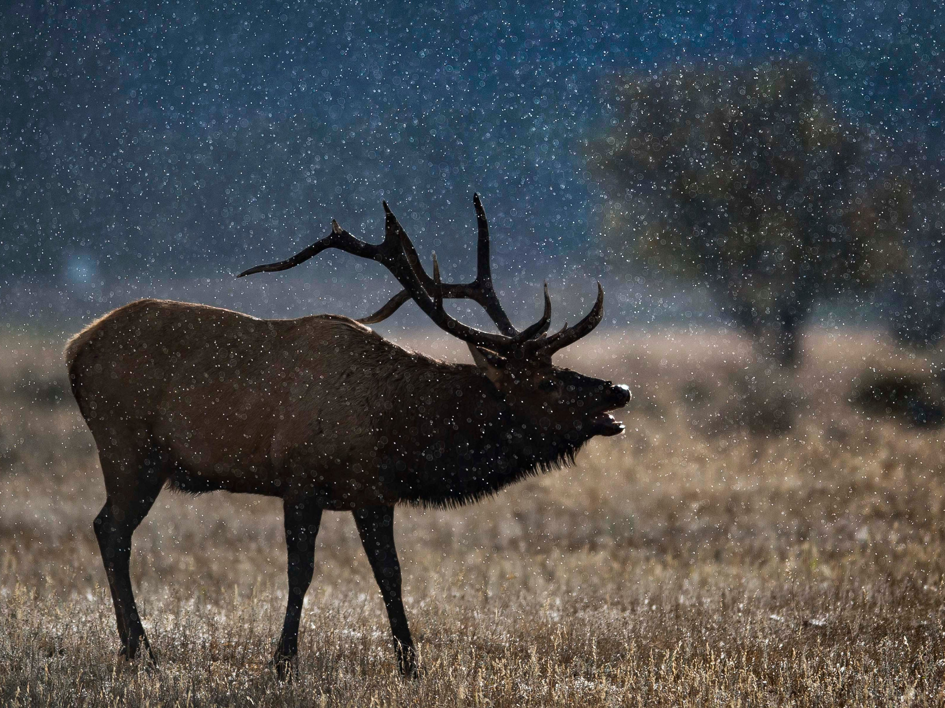 Morning rain-showers fall as a bull elk bugles in Moraine park on Monday, Sept. 24, 2018, at Rocky Mountain National Park in Colo.