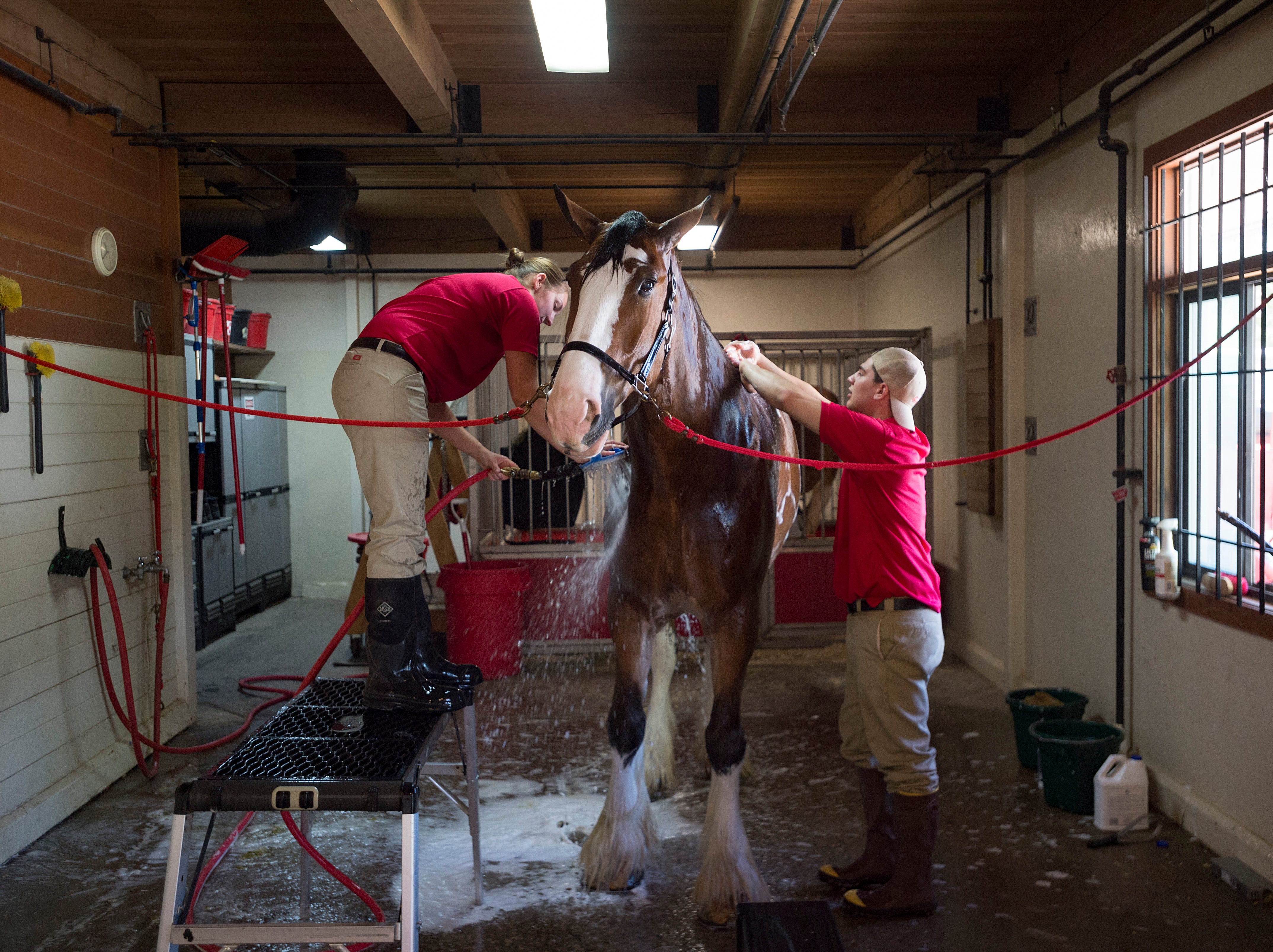 Shelby Zarobinski and Andrew Lacrosse give Red, a 2,200-pound Clydesdale, a bath at the Fort Collins Anheuser-Busch Brewery on Thursday, May 31, 2018. The iconic Budweiser Clydesdales are visiting the brewery's Fort Collins location this week.