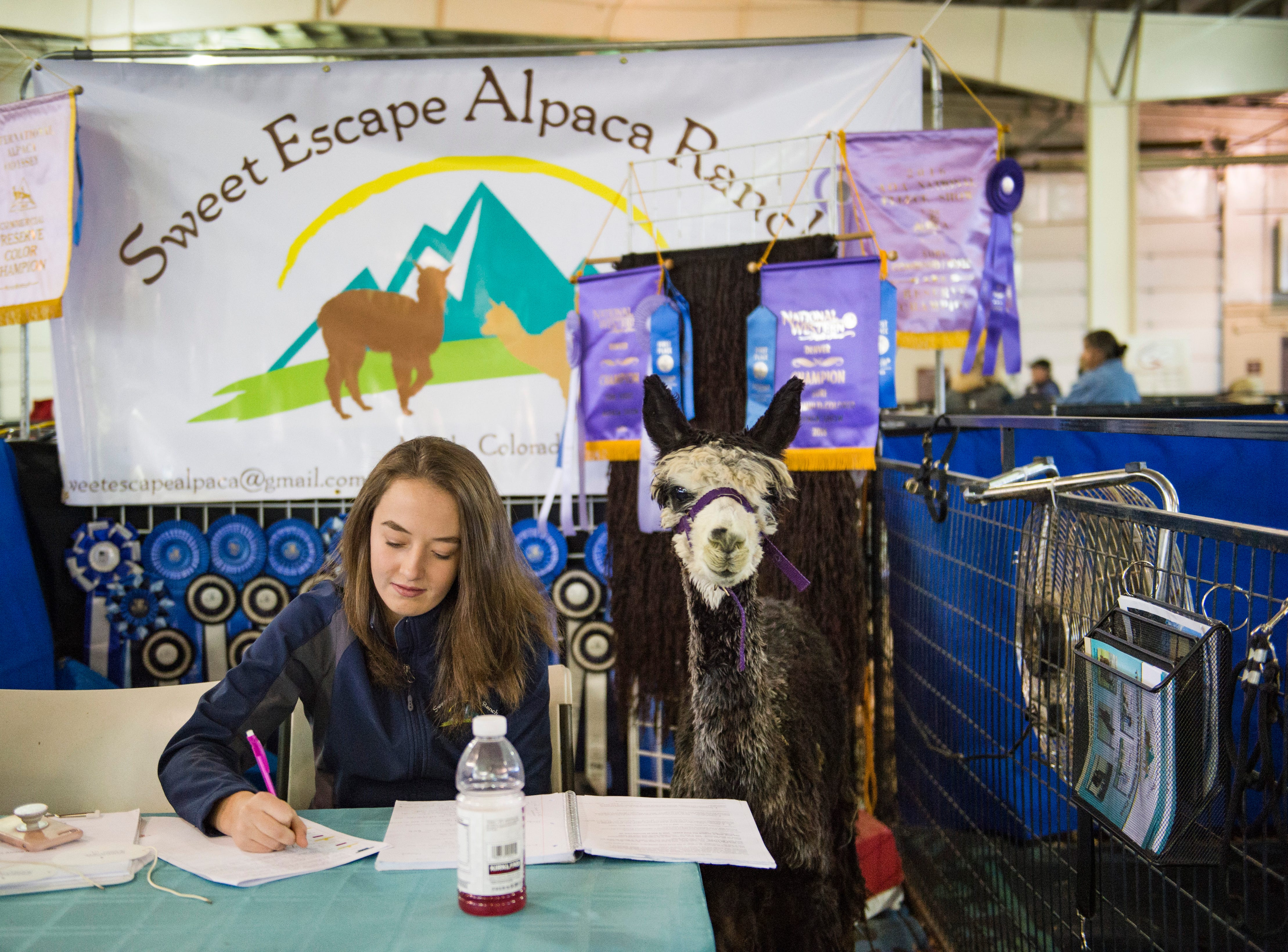 Mystic the alpaca sits patiently while Sydney May works on some school work during the Fall Festival Alpaca Show at The Ranch in Loveland on Saturday, November 2, 2018. Alpaca breeders and handlers gathered to swap tips of the trade and show their animals.