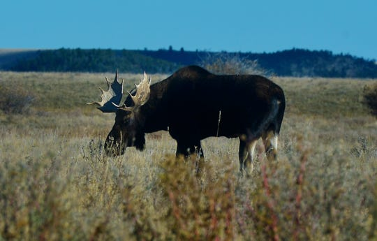 A bull moose feeds in a field at the foot of the Crazy Mountains near Two Dot. A moose shot by a hunter in northwestern Montana tested positive for chronic wasting disease.
