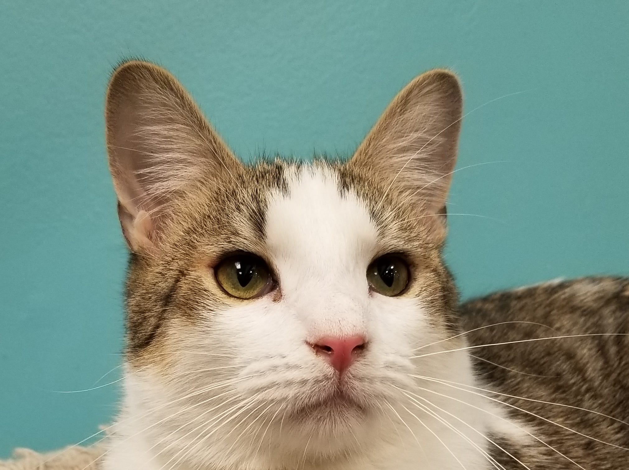 Bo Duke is a 10-month-old handsome guy who loves to cuddle and play! We still have lots of holiday kittens looking for their forever homes! Come see them at our adoption fair at West Town PetSmart Saturdays 12-6 p.m. and Sundays 1-5 p.m. All kittens are spayed or neutered, vaccinated, tested for FIV and FeLV, and microchipped. www.feralfelinefriends.org.