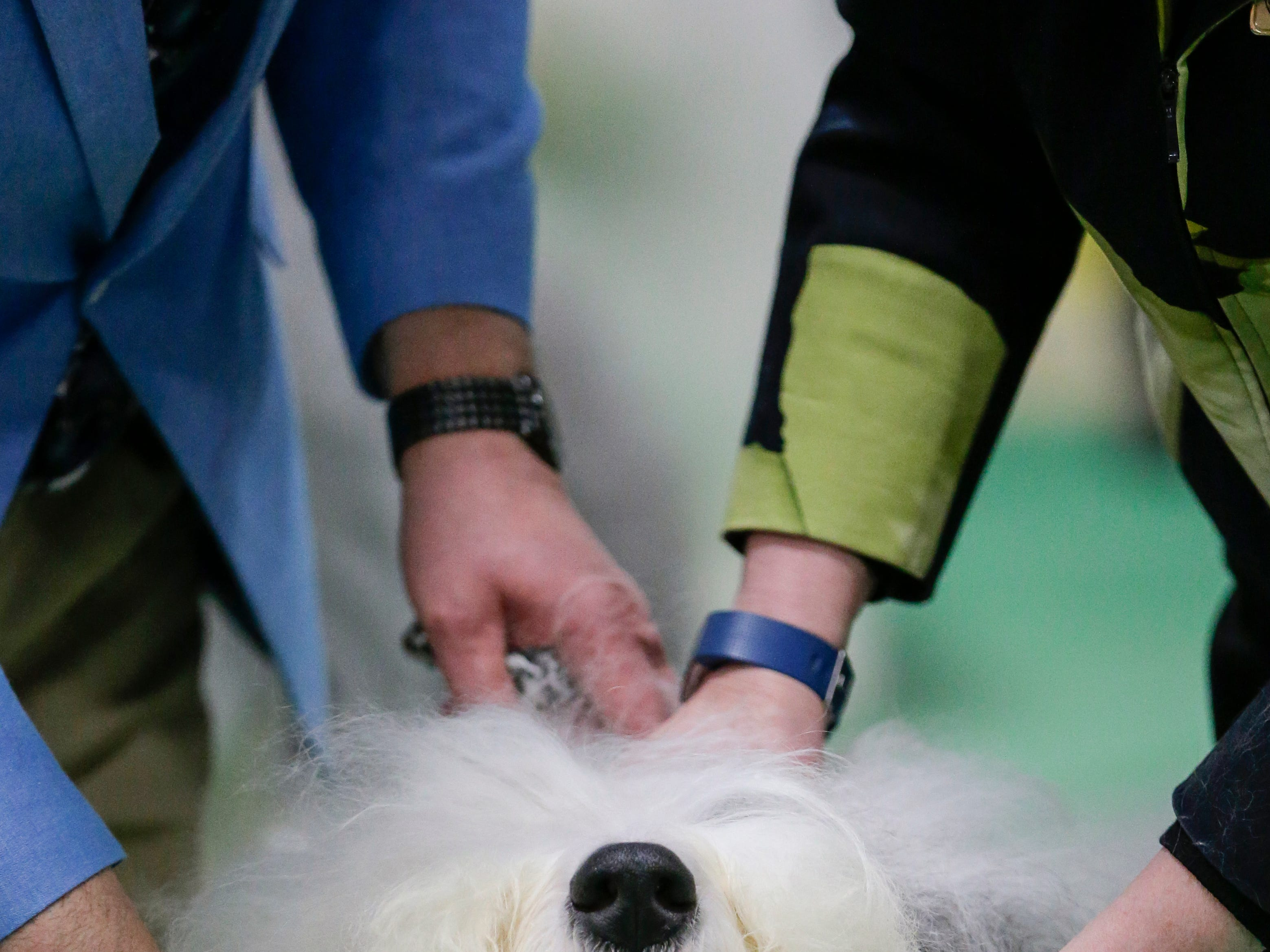 An Old English sheepdog named Jazzy gets examined by judge Heather Langfeld during the Northeast Wisconsin Dog Show Classic Friday, Mar. 30, 2018, in Manitowoc, Wis. Josh Clark/USA TODAY NETWORK-Wisconsin