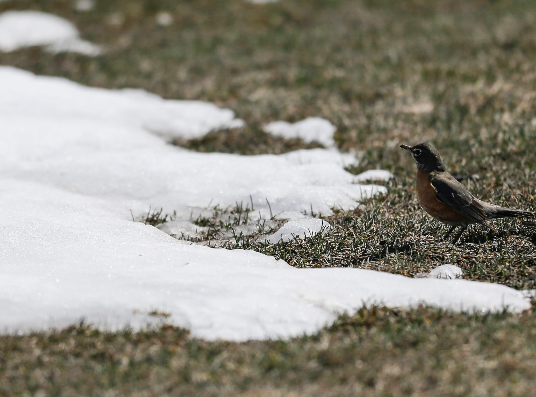 A robin stands in the grass as seasonal temps melt snow and ice brought by winter storm Evelyn Thursday, Apr. 19, 2018, in Manitowoc, Wis. Josh Clark/USA TODAY NETWORK-Wisconsin
