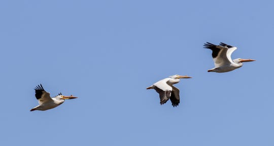 FILE - Pelicans fly near the blue rail area in Manitowoc in May 2018.
