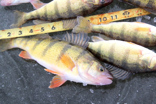Yellow perch caught on an ice fishing outing on Green Bay.