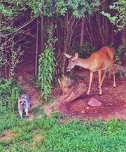 A deer and raccoon approach the backyard of Tavner Cox McKelley, who is asking Murfreesboro's mayor to abandon a plan to rezone land near the Cason Lane Greenway entrance.