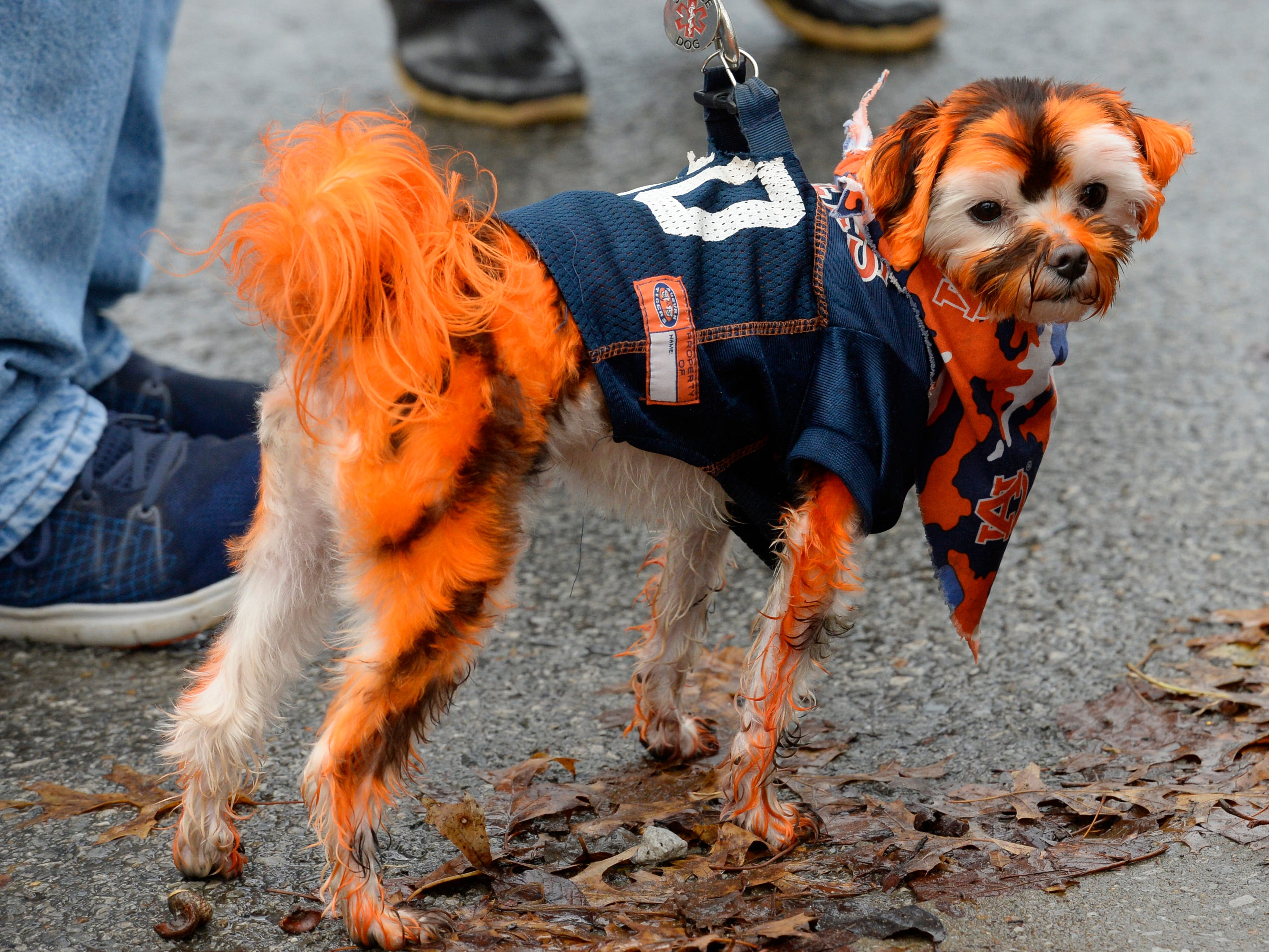 Jake clearly is an an Auburn fan decked out in the team's colors before the start of the Music City Bowl NCAA college football game Friday, Dec. 28, 2018, at Nissan Stadium in Nashville, Tenn.