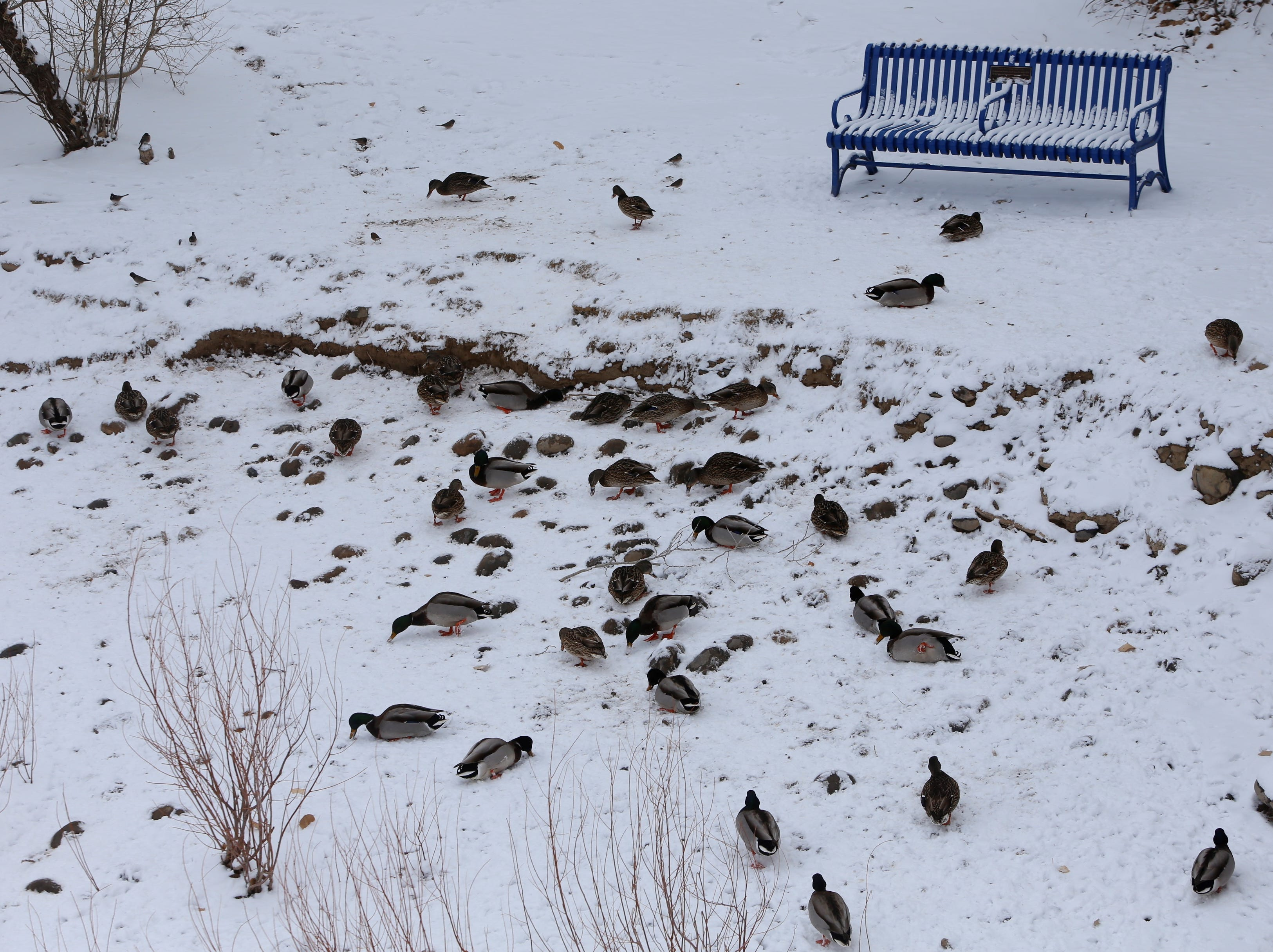 Ducks enjoy the snow near the Berg Bridge in Berg Park on Friday.